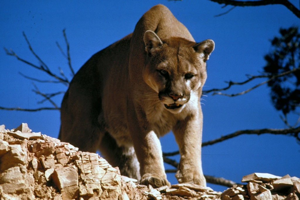 Cougar - Wikipedia - Mountain Lions In Texas Map