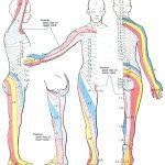 Dermatome (Anatomy)   Wikipedia   Printable Dermatome Map