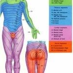 Dermatome Chart With Symptoms | More Pain First Thing In The Morning   Printable Dermatome Map