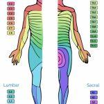 Dermatomes And Myotomes | Anatomy | Geeky Medics   Printable Dermatome Map