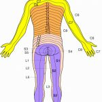Dermatomes Map (89+ Images In Collection) Page 3   Printable Dermatome Map