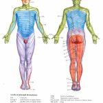 Dermatomes | Nclex | Radiculopathy, Occupational Therapy, Spinal Nerve   Printable Dermatome Map