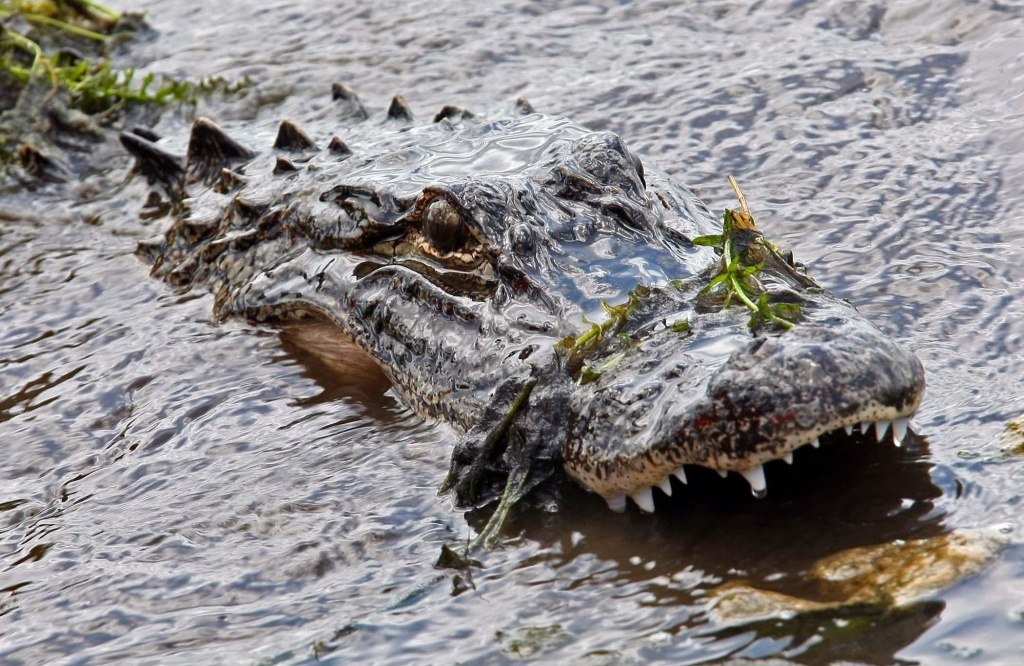 Interactive Map Shows Where Florida's Nuisance Alligators Are - News - Alligators In Florida Map