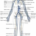 This Diagram Shows The Major Veins In The Human Body. | Venas & Arteries   Printable Body Maps