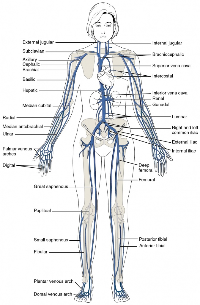 This Diagram Shows The Major Veins In The Human Body. | Venas & Arteries - Printable Body Maps