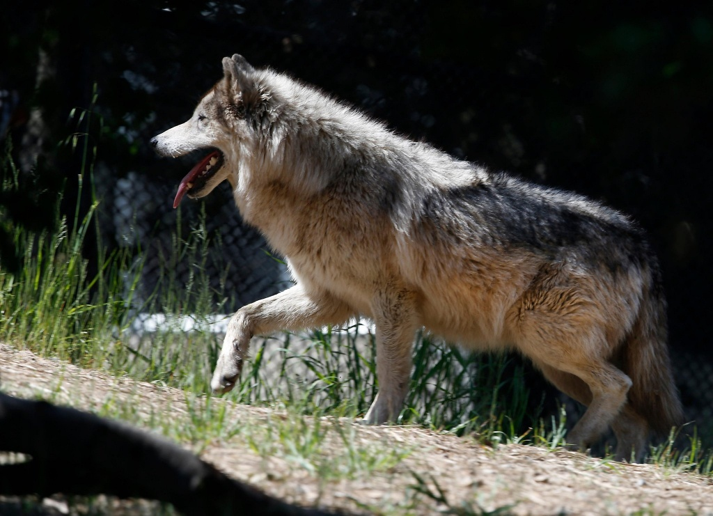 Wolves In Northern California Aren't Just Loping Through Anymore - Wolves In California Map